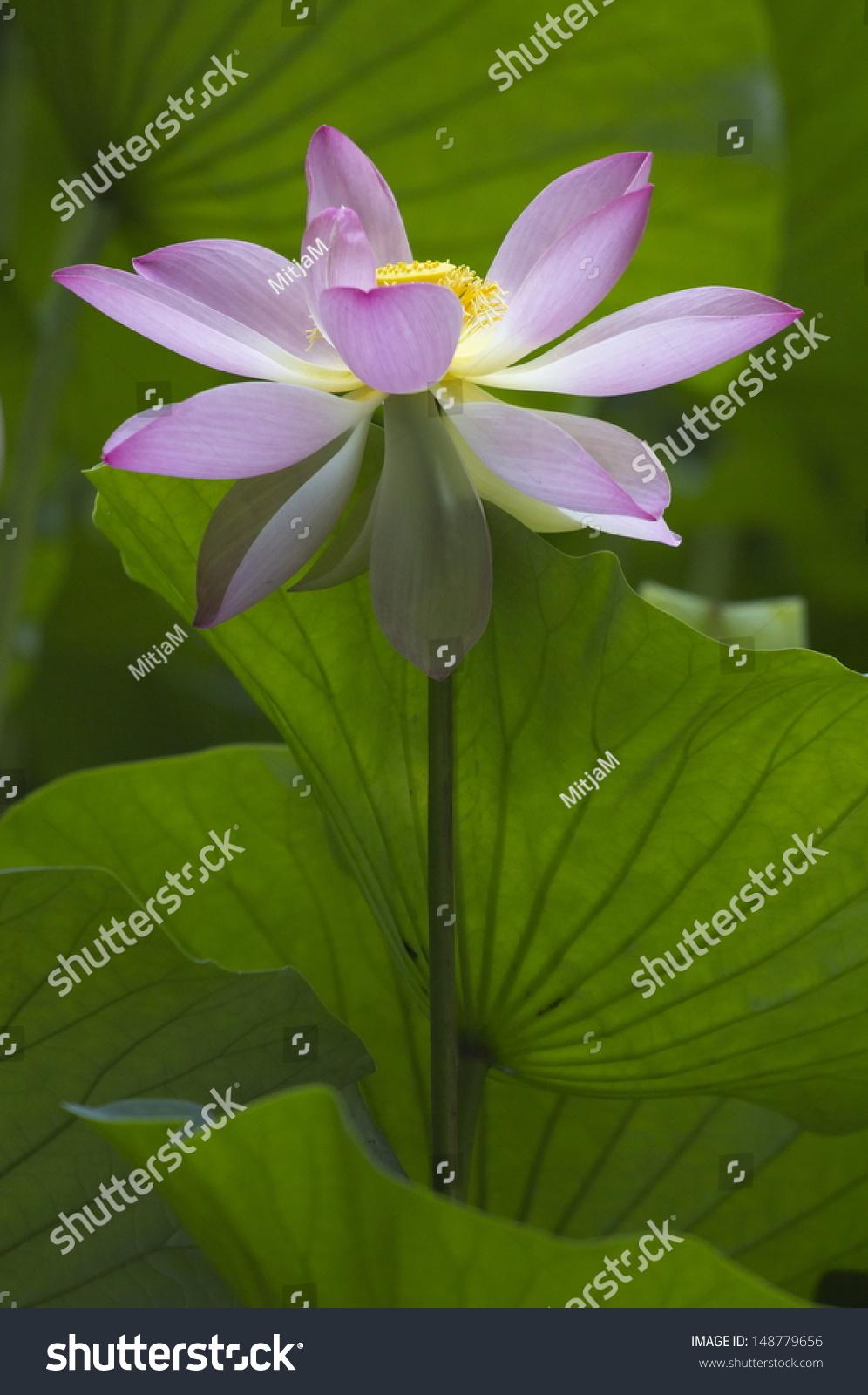 Beautiful Pink Lotus Flower Stock Photo Edit Now 148779656