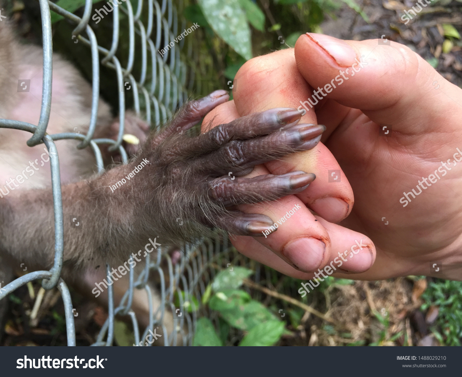 stock-photo-a-caged-monkey-giving-her-ha