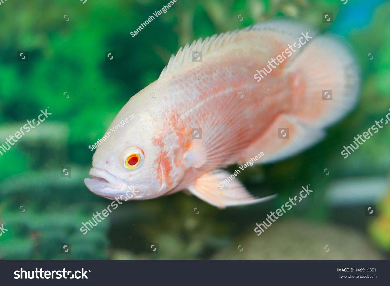 Fish aquarium oscar - Oscar Fish In Aquarium Astronotus Ocellatus White And Orange Albino Oscar Isolated Fish