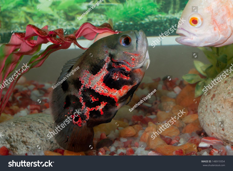 Fish aquarium oscar - Oscar Fish In Aquarium Astronotus Ocellatus Albino Oscar Oscar Fish Fighting In Water