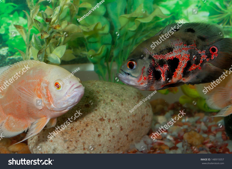 Fish aquarium oscar - Oscar Fish In Aquarium Astronotus Ocellatus Albino Oscar Tiger Oscar Fish Fighting