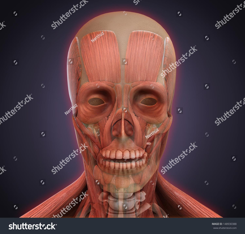 Human Face Anatomy Stock Illustration 148930388 Shutterstock