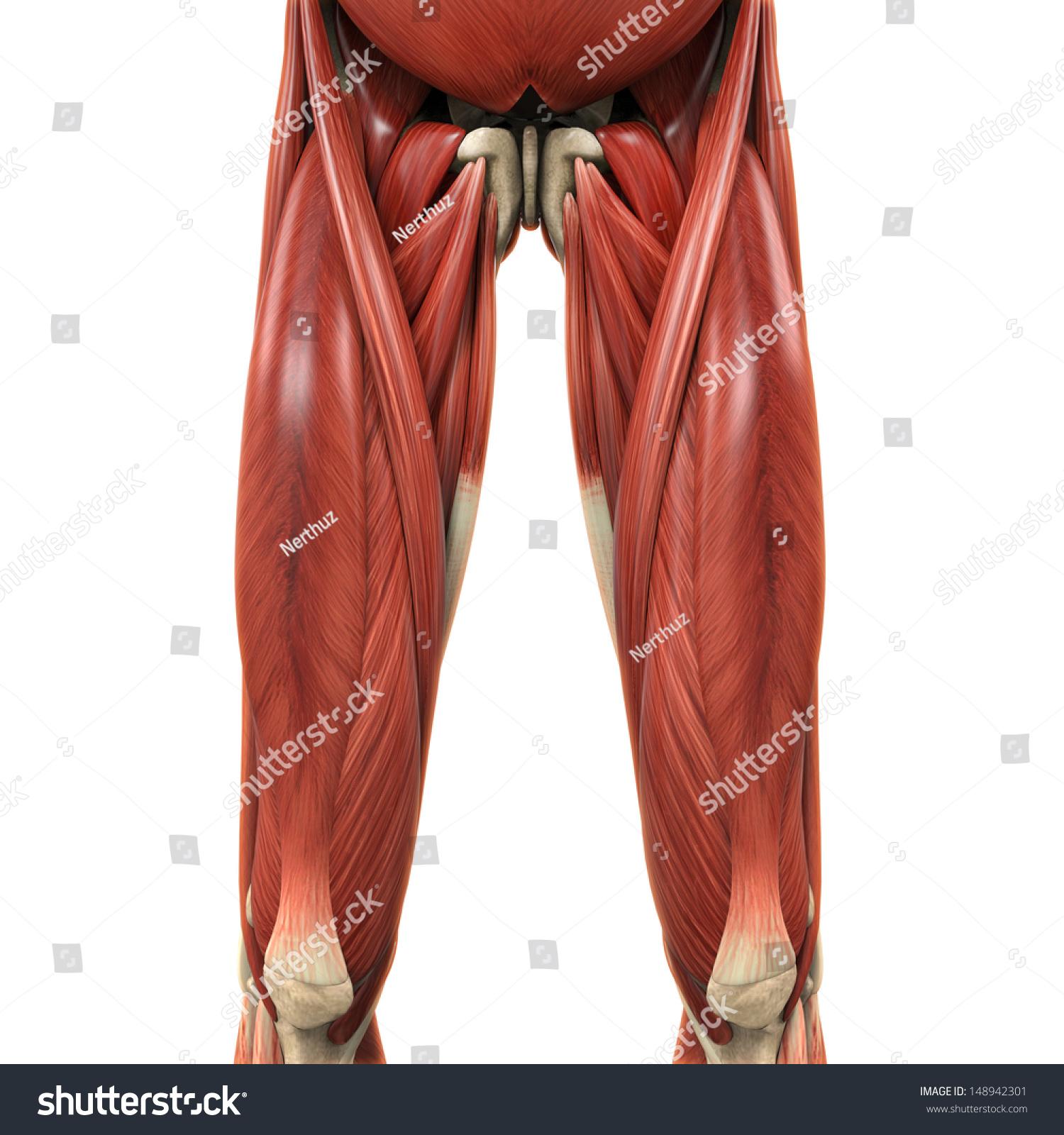 Upper Legs Muscles Anatomy Stock Illustration 148942301 - Shutterstock