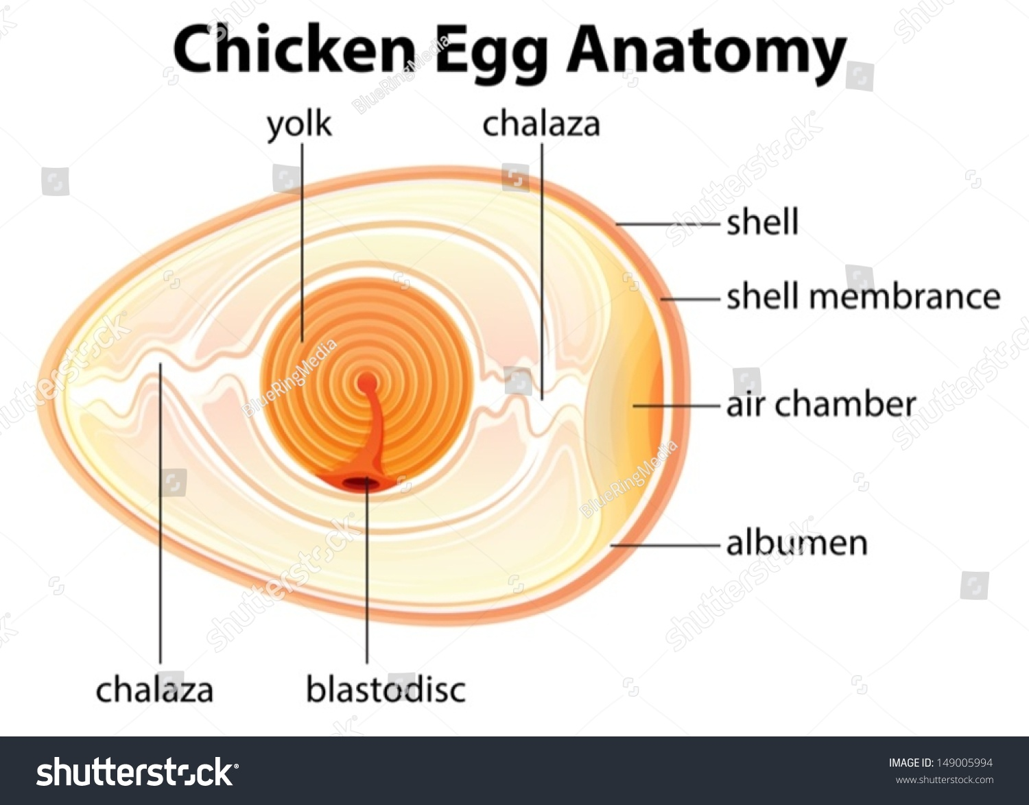 Illustration Showing Chicken Egg Anatomy Stock Vector 149005994 ...