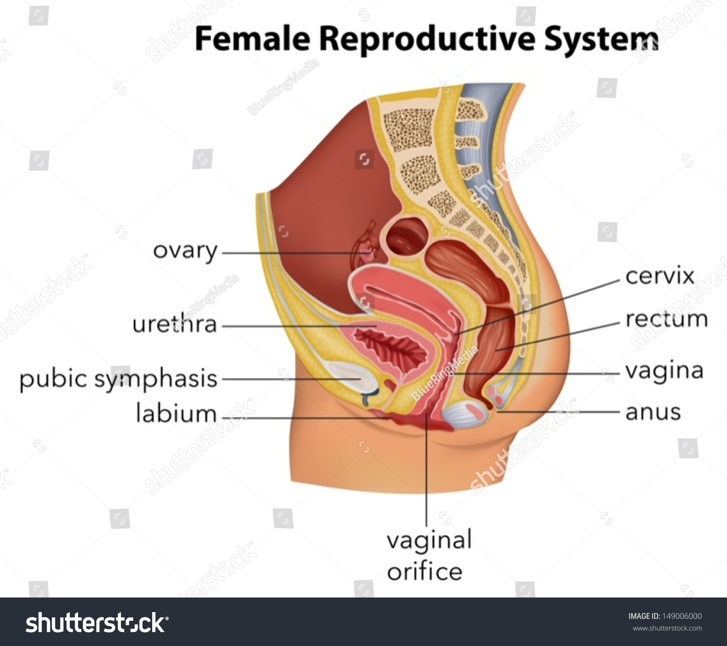 Illustration Showing Female Reproductive System Stock Vector