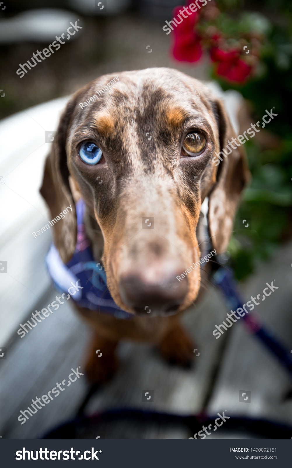 Dachshund Puppy Blue Brown Eyes Looking Stock Photo Edit Now 1490092151