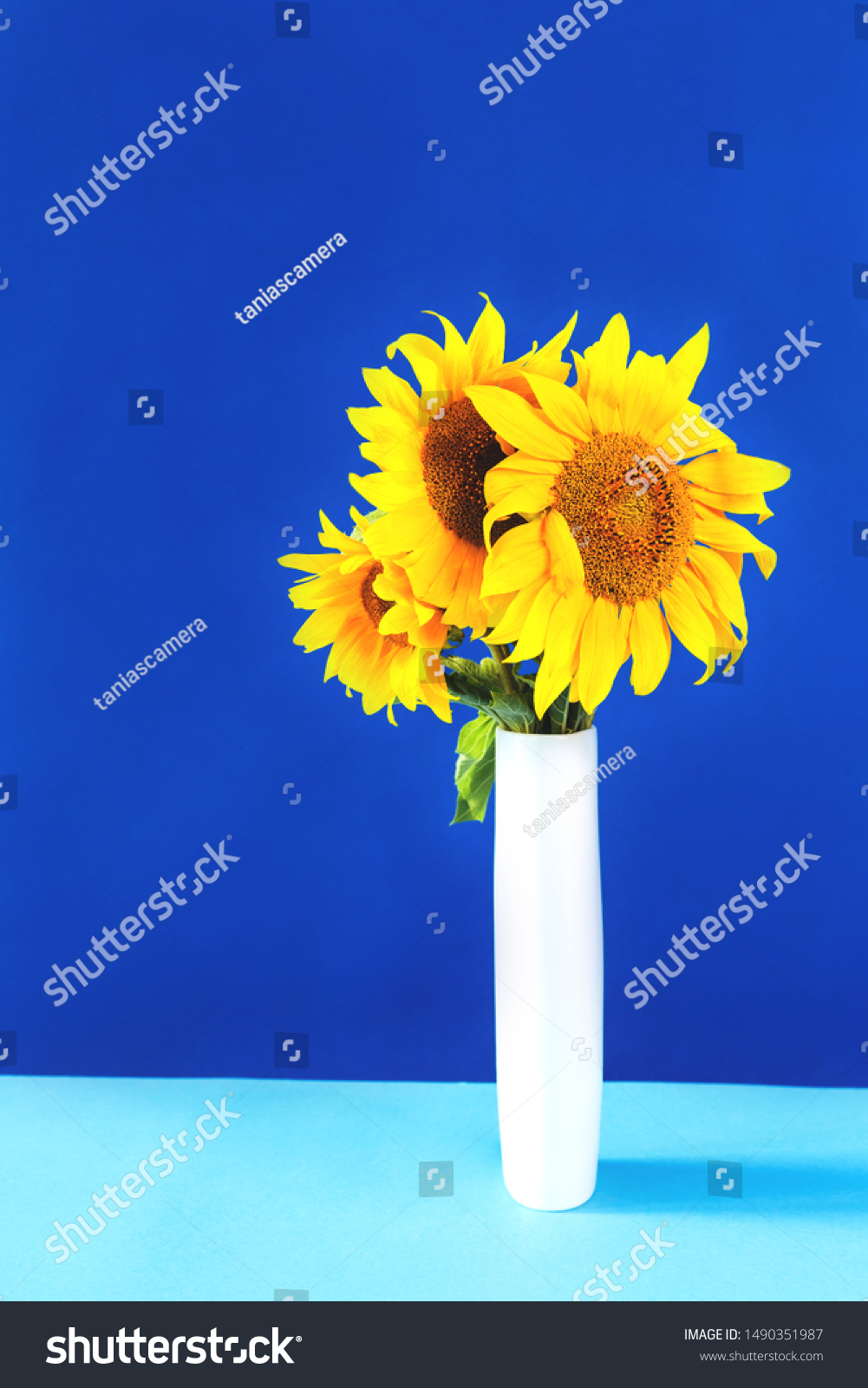 Sunflowers Tall White Vase On Blue Stock Photo Edit Now 1490351987