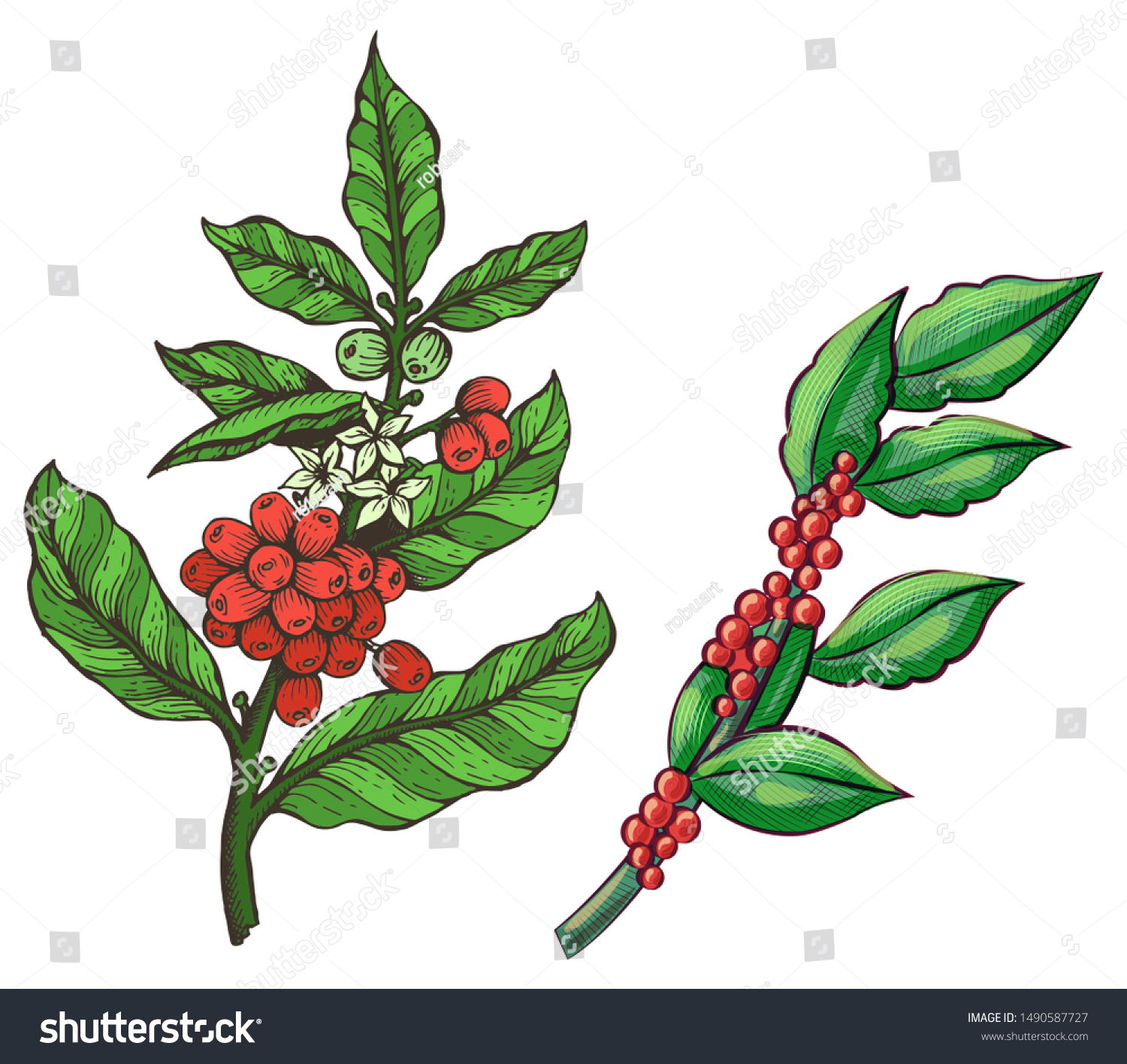 Green Coffee Beans Stick Java Plant Stock Vector Royalty Free