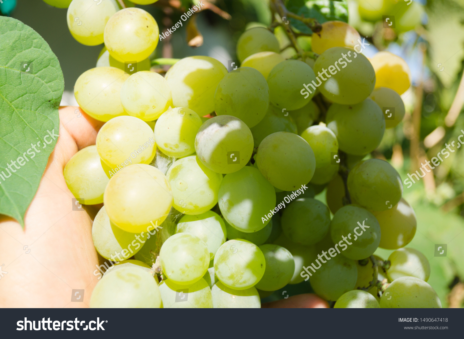 Harvest grapes. Large grapes. Grapes and winemaking. Large grapes. #1490647418