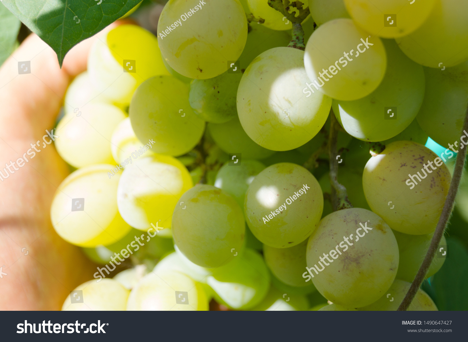 Harvest grapes. Large grapes. Grapes and winemaking. Large grapes. #1490647427