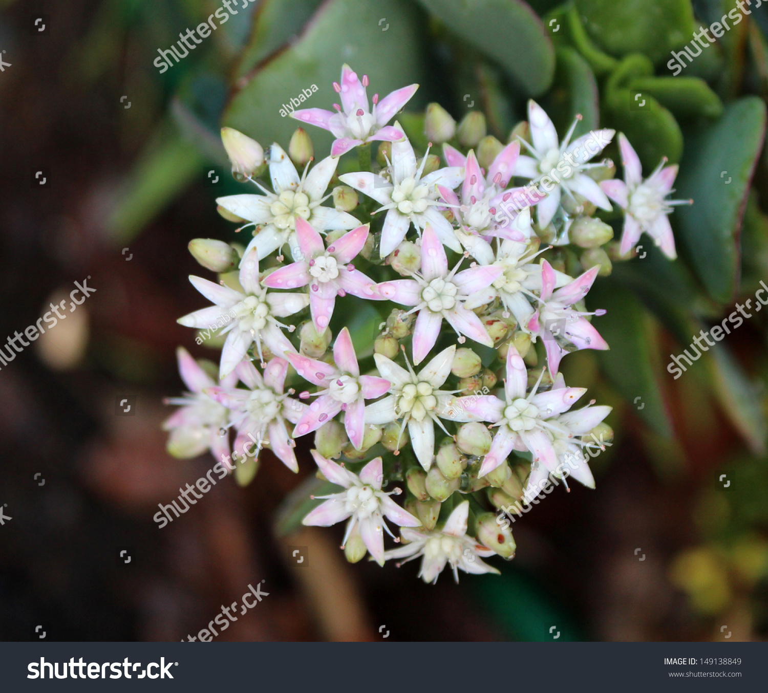 Pretty dainty pale pink flowers succulent stock photo - Plants with blue flowers a splash of colors in the garden ...