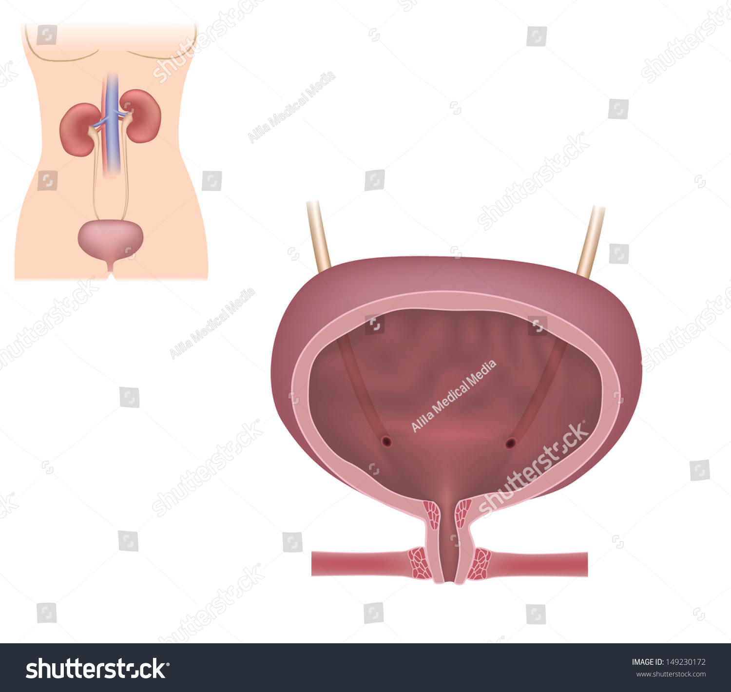 Female Urinary System Unlabeled Stock Illustration 149230172