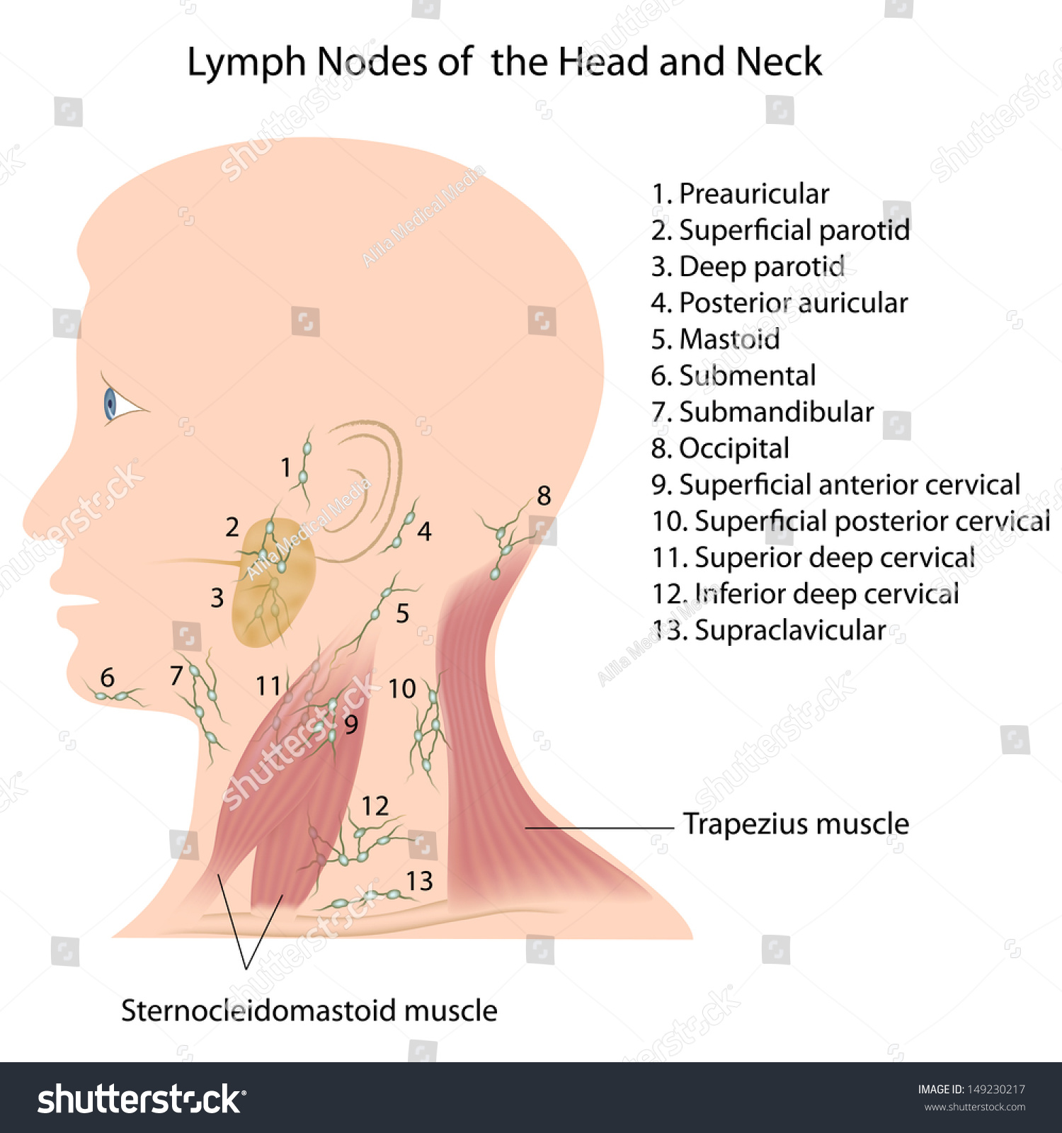 lymph nodes head neck stock illustration 149230217 - shutterstock, Human Body