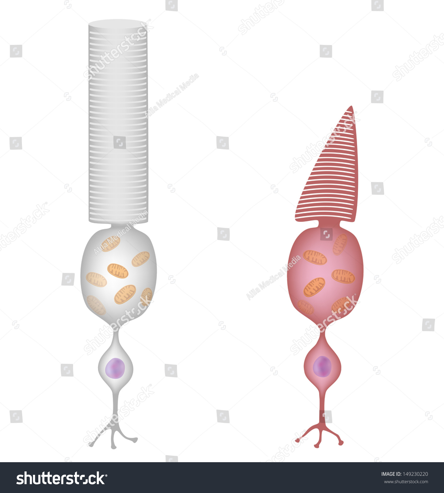 Rods Cones Drawing Stock Illustration 149230220 Shutterstock