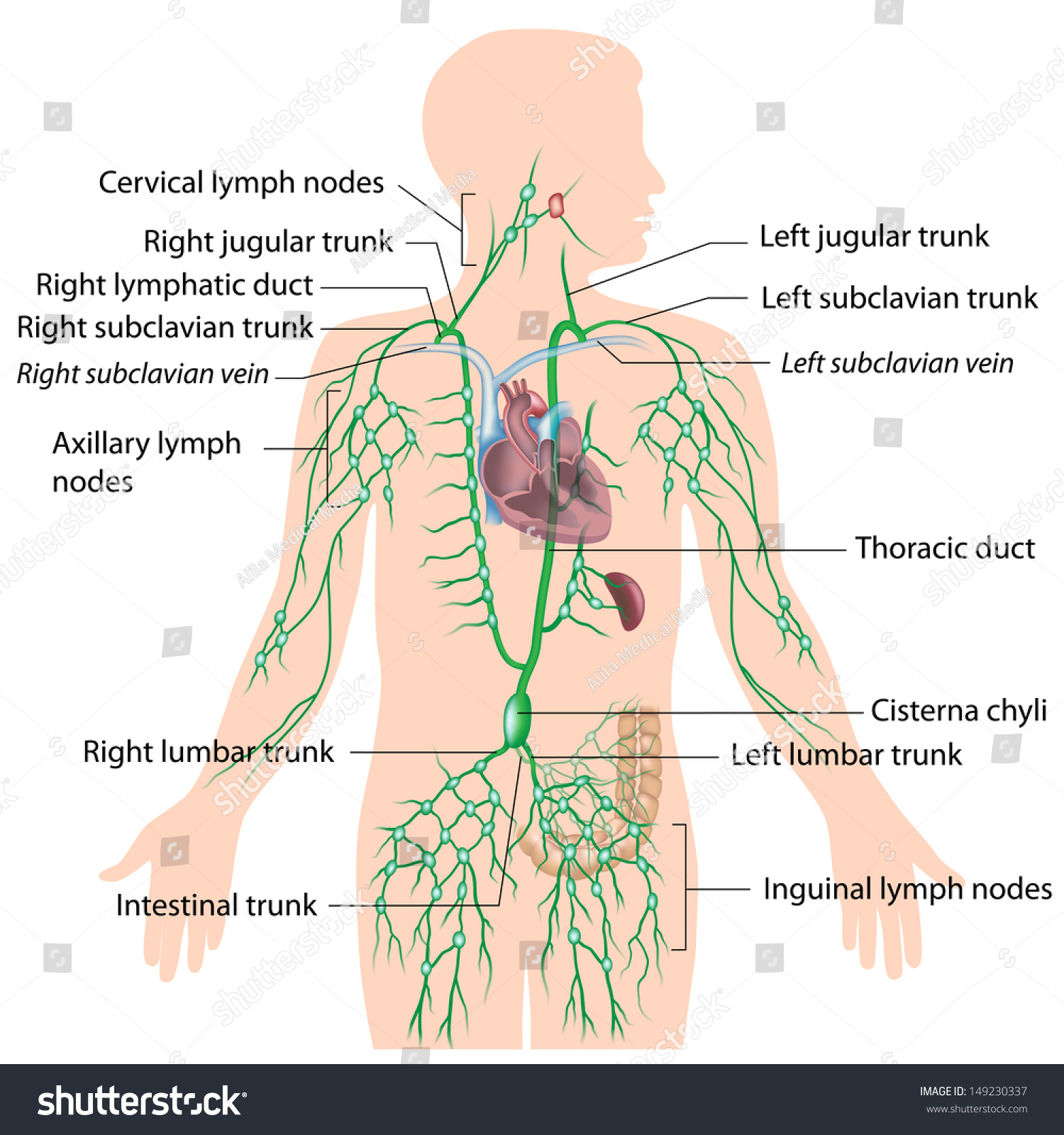 lymphatic system labeled diagram stock photo 149230337  : lymphatic diagram - findchart.co