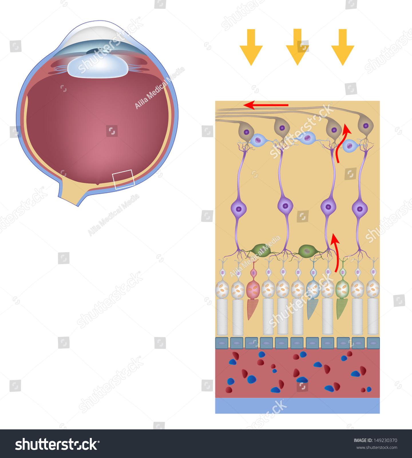Layers Retina Science Drawing Stock Illustration 149230370 ...