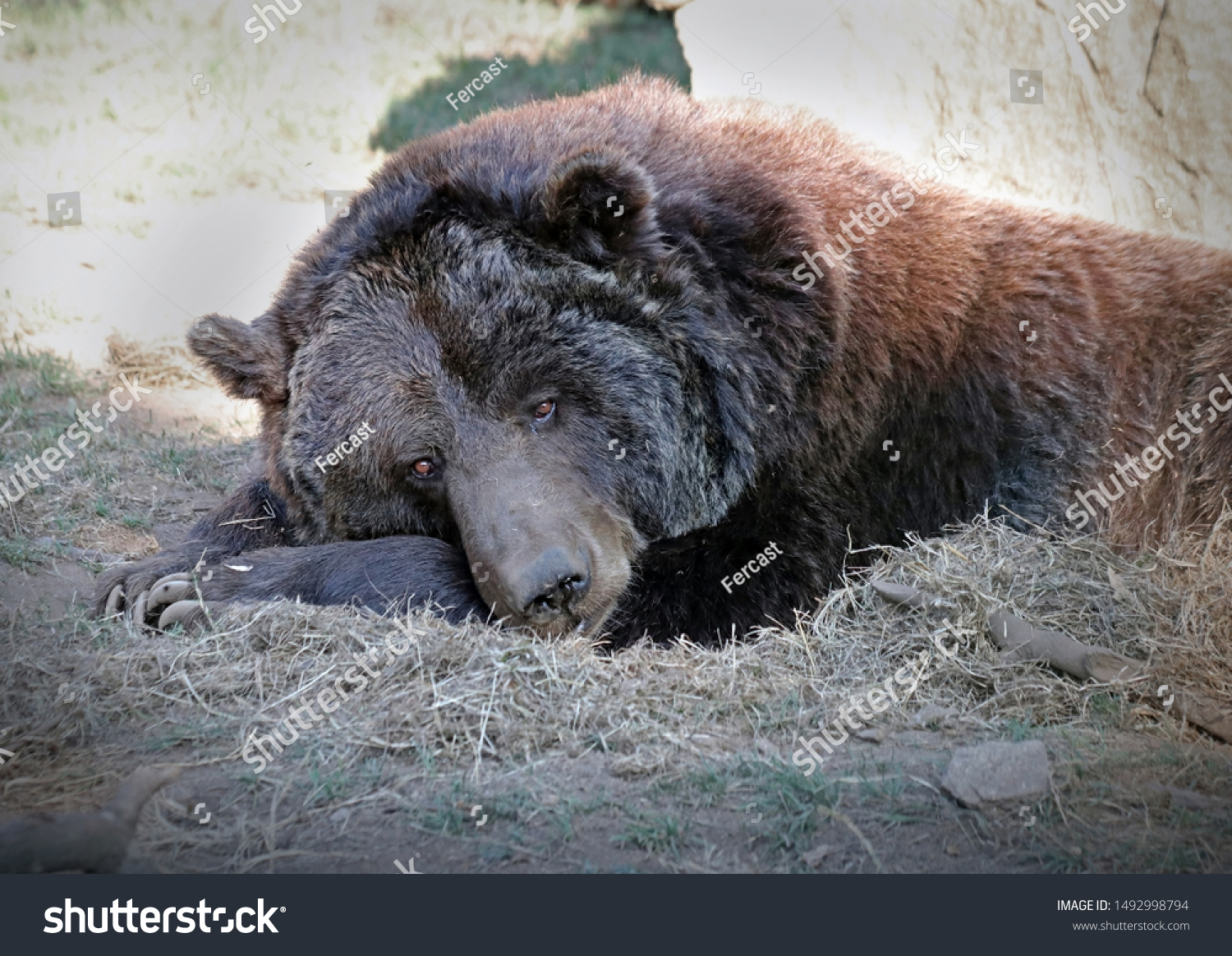 Depressed looking bear inside a cage in a zoo rests on the ground. This animal was rescued from another zoo and its confined in a small area. Brown bear (Ursus arctos pyrenaicus) with sad looking eyes