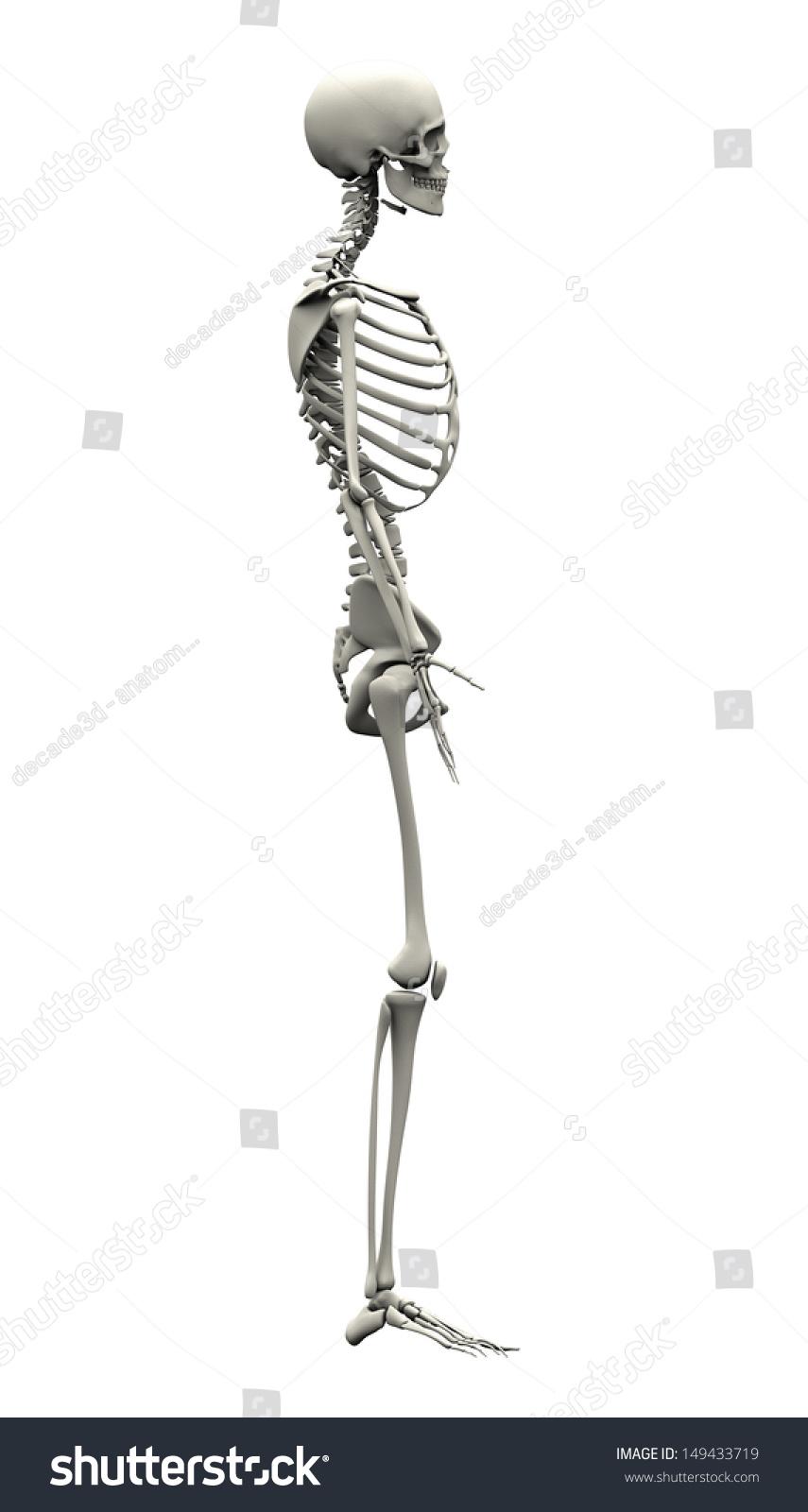 Male Human Skeleton Side View Stock Illustration 149433719 ...