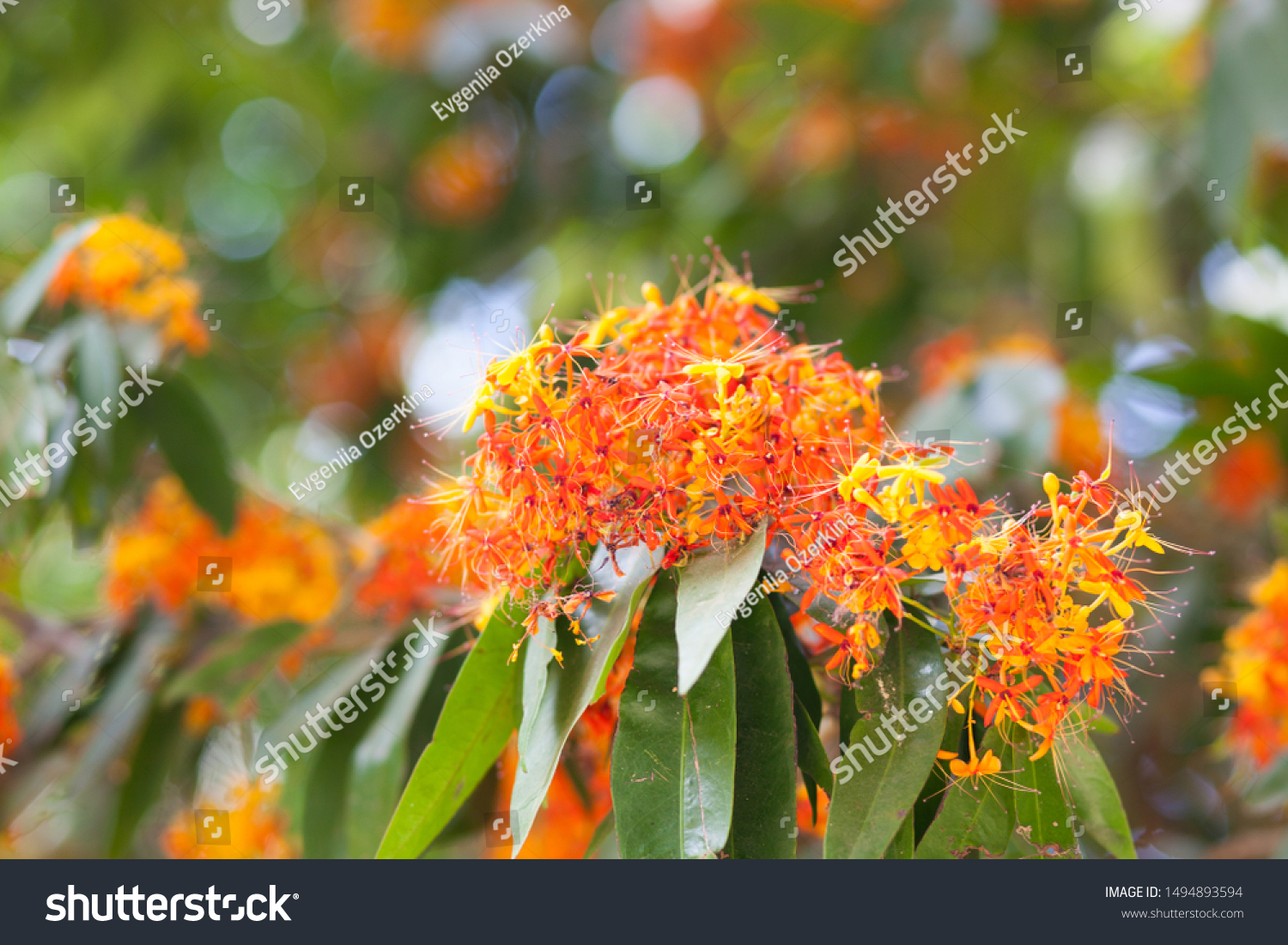https://image.shutterstock.com/z/stock-photo-flam-boyant-the-flame-tree-royal-poinciana-blooming-in-spring-in-thailand-close-up-macro-1494893594.jpg