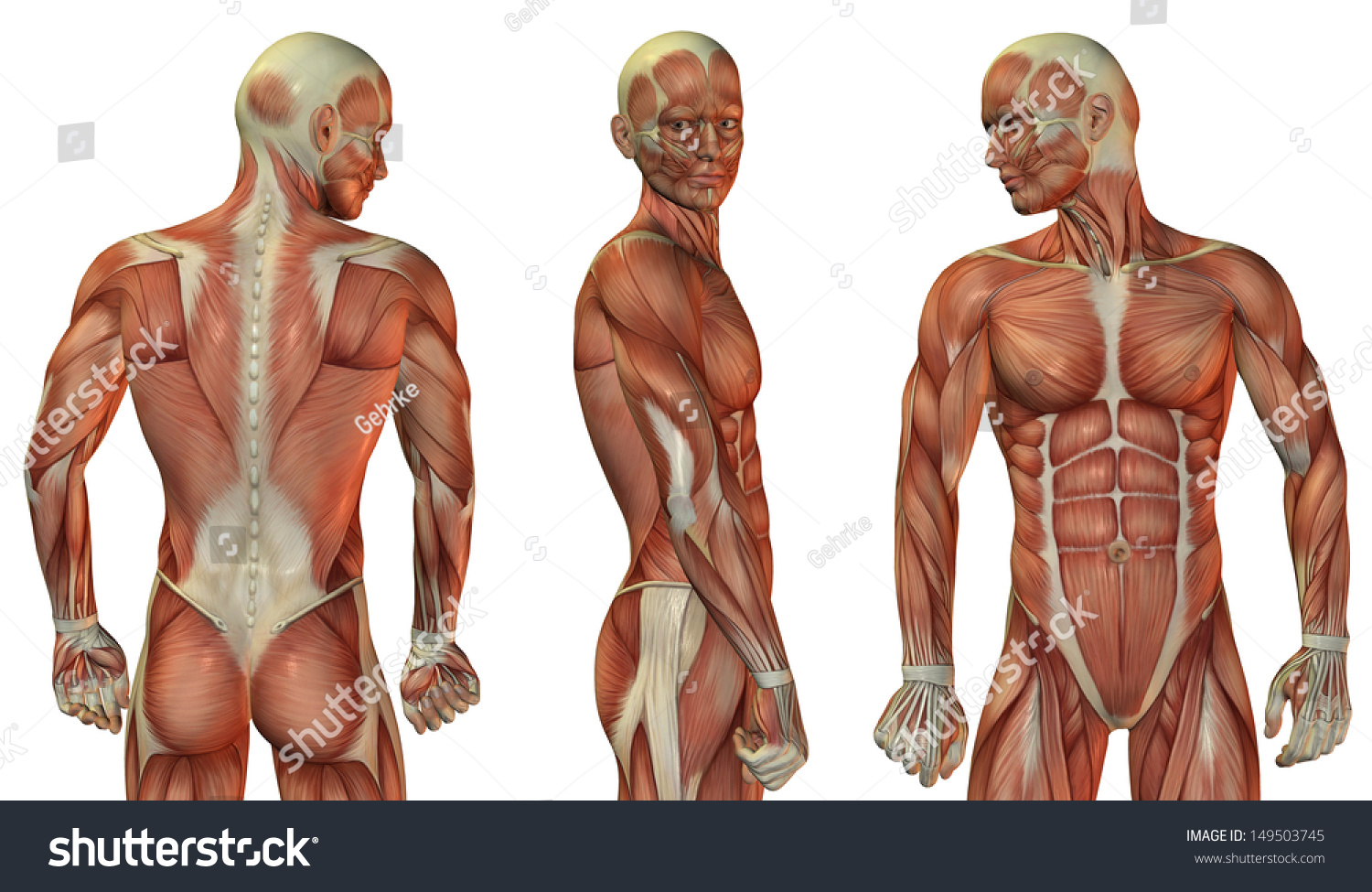 Muscle Structure Head Upper Body Man Stock Illustration 149503745
