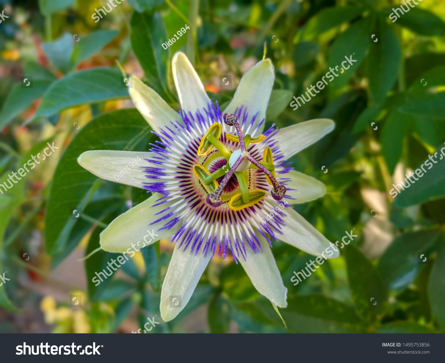 Close up passiflora. Passion Flower (Passiflora caerulea) leaf in tropical garden. Beautiful passion fruit flower or Passiflora (Passifloraceae). Passiflora is genus of 550 species. Blue passion fruit