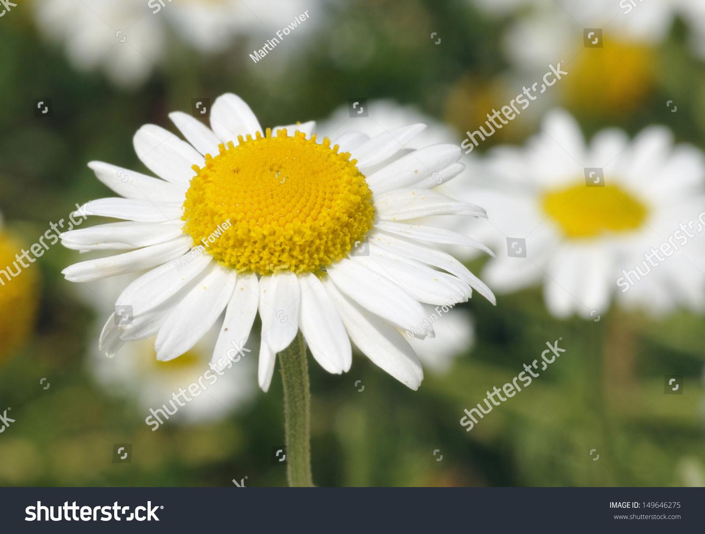 Chamomile Chamaemelum Nobile White Daisy Like Stock Photo Edit Now