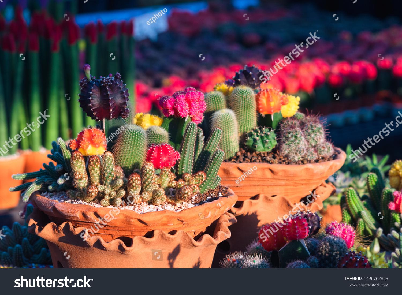 Composition Mini Beautiful Arrangements Cactus Succulents Stock Photo Edit Now 1496767853