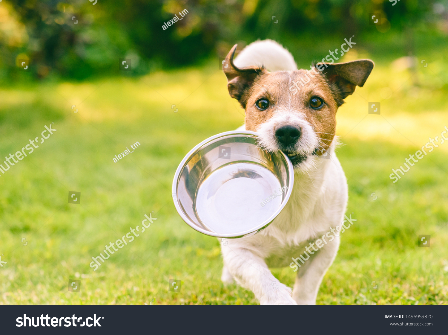 Hungry or thirsty dog fetches metal bowl to get feed or water #1496959820