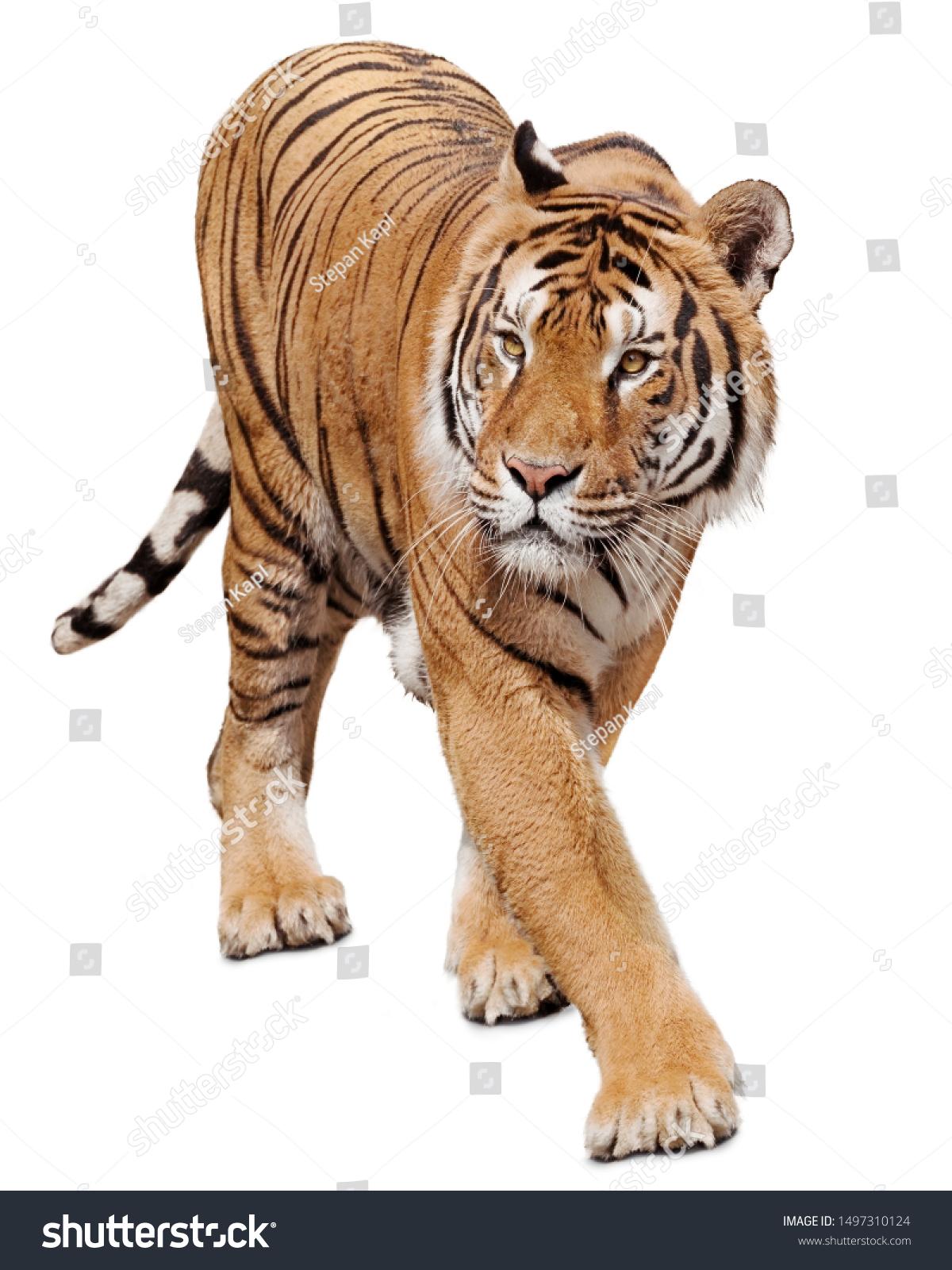 Tiger walking on white background #1497310124
