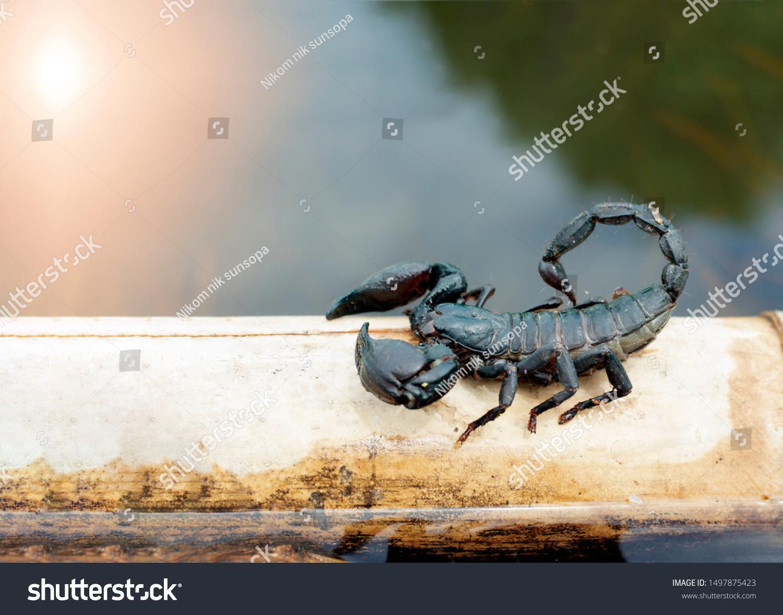 abuela cavar Heredero  Black Elephant Scorpion On Dry Branches Stock Photo (Edit Now) 1497875423