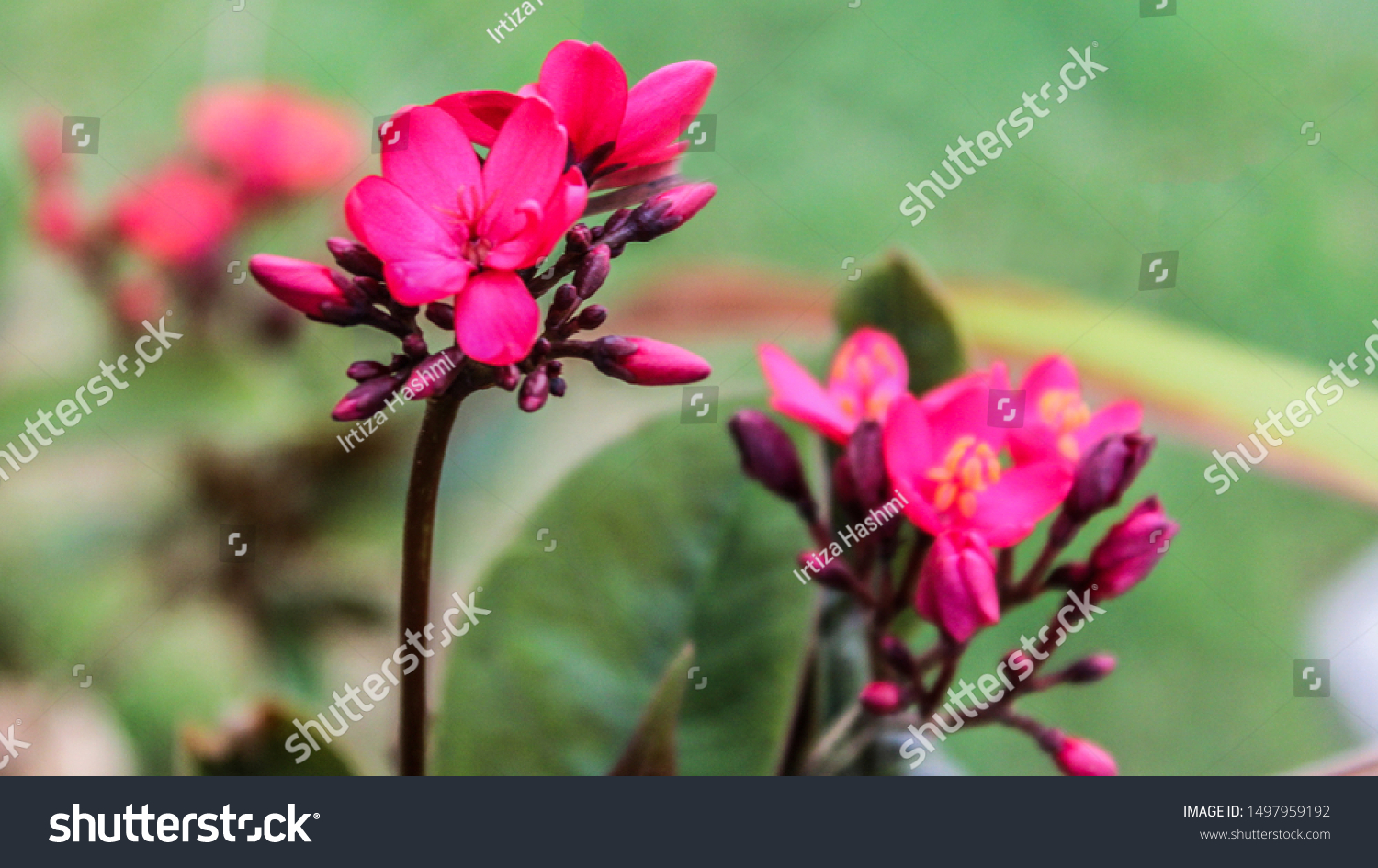 Beautiful Nature Pink Flowers Leafs Hd Stock Photo Edit Now 1497959192
