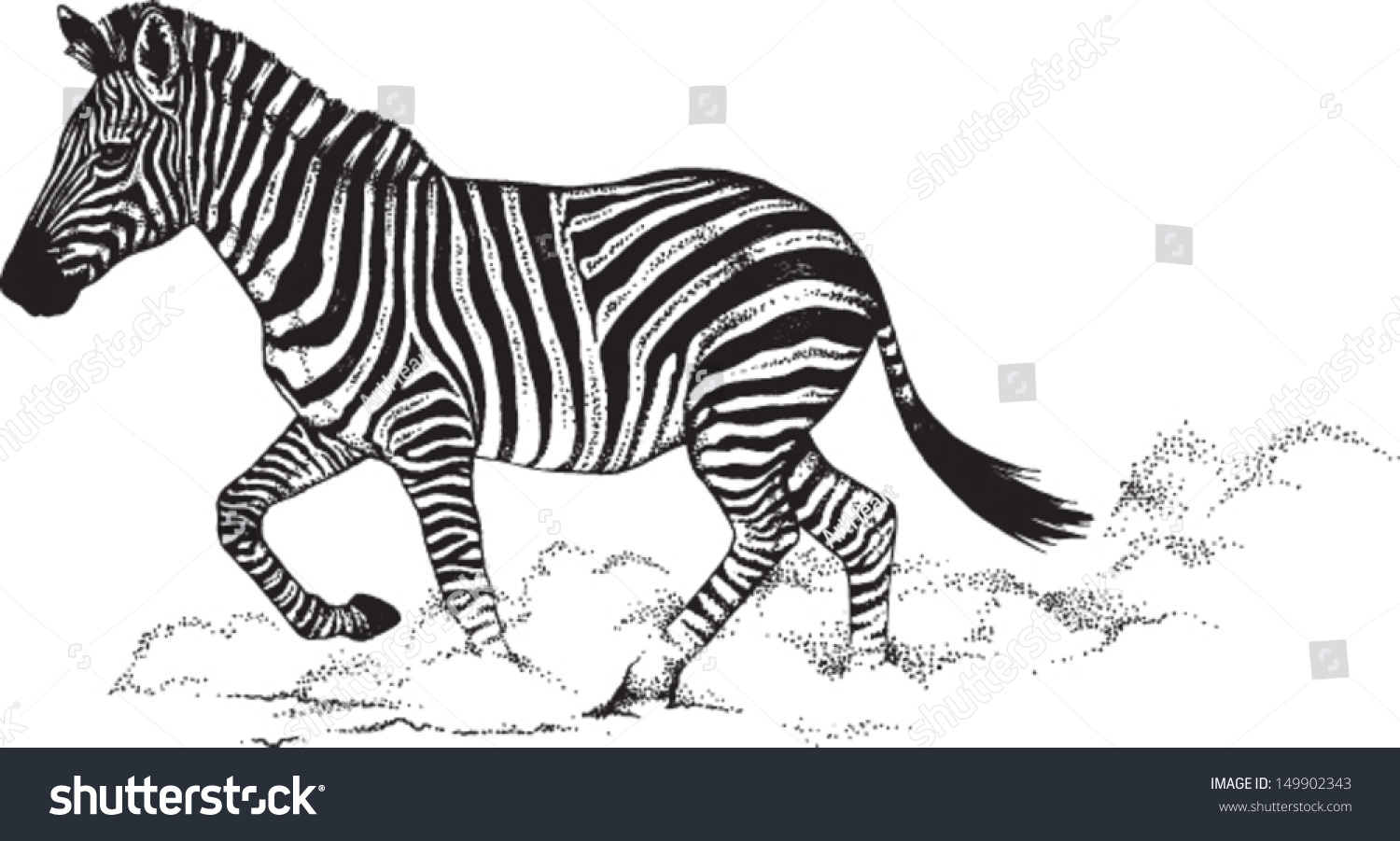 Line Drawing Zebra : Royalty free black and white vector line drawing of