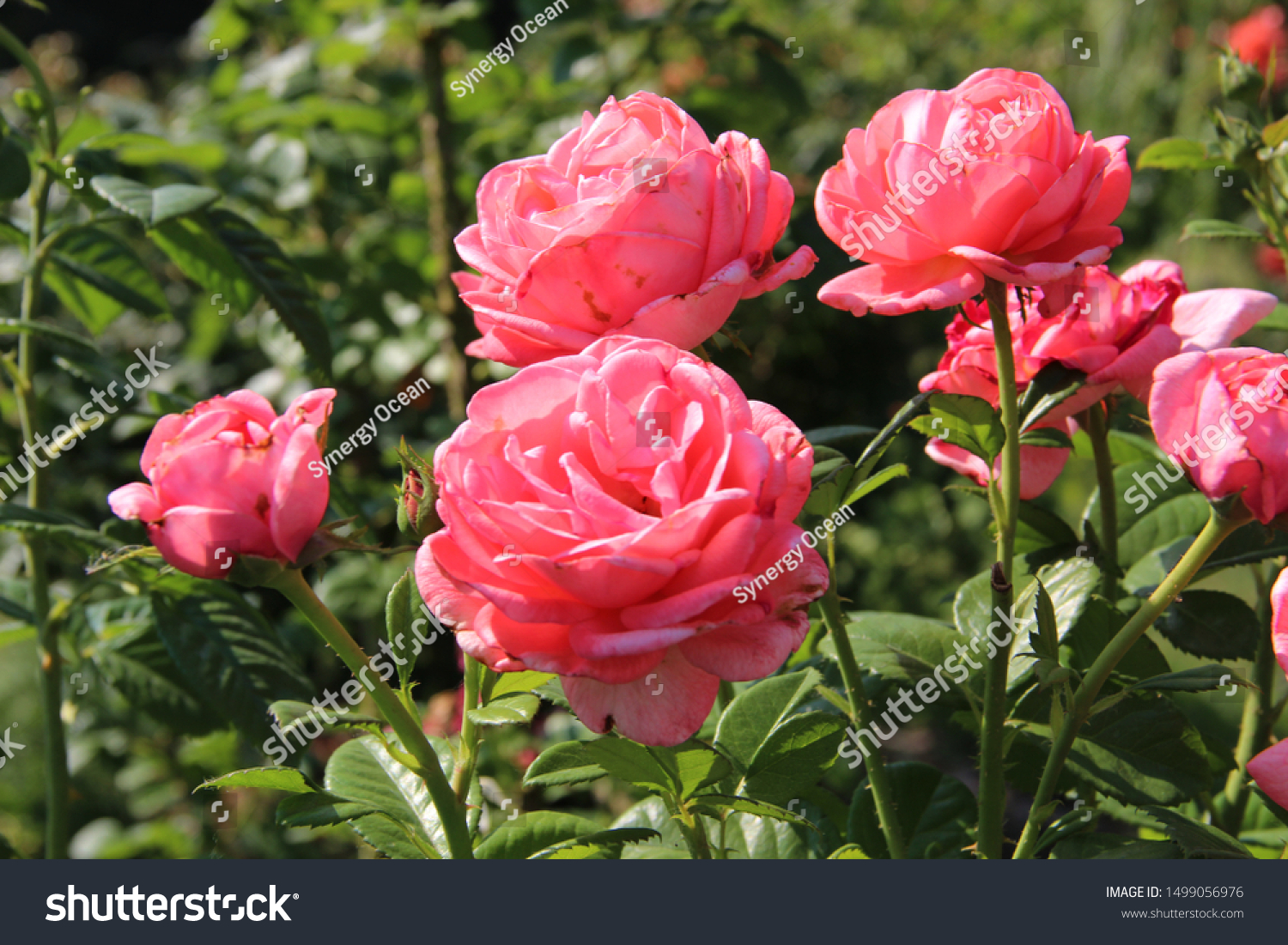 Pink Tender Roses Lit By Sun Royalty Free Stock Image