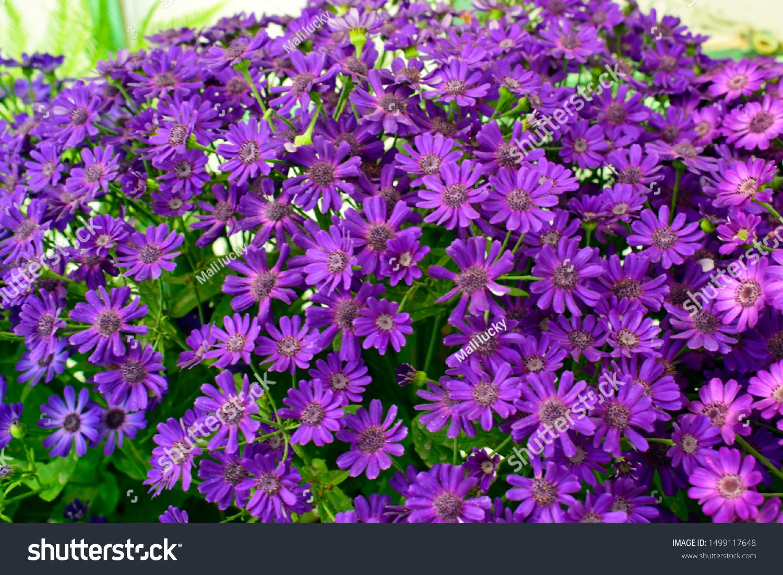 Beautiful Spring Cineraria Stellata Maritima Flowers Stock Image