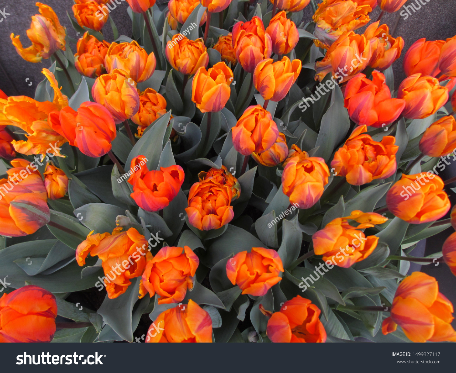 Beautiful brightly coloured tulips. Netherlands #1499327117