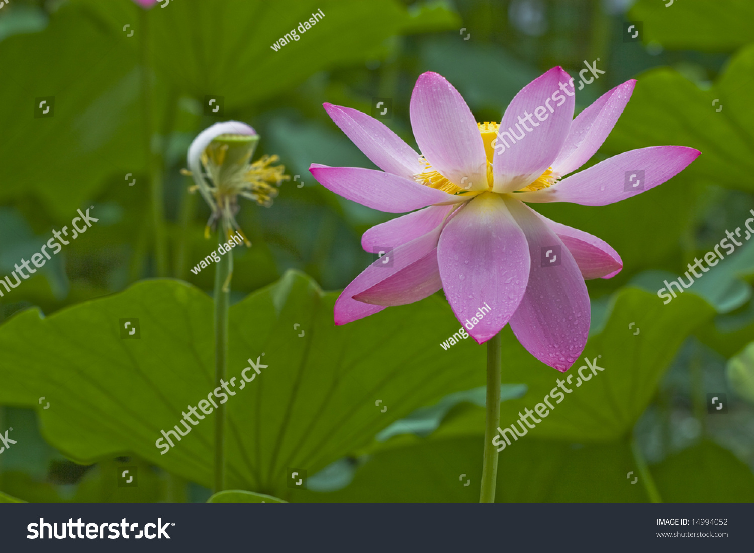 Lotus flowers morning after rain open lotus stock photo royalty the lotus flowers in the morning after rainopen lotus blossom with shallow focus izmirmasajfo