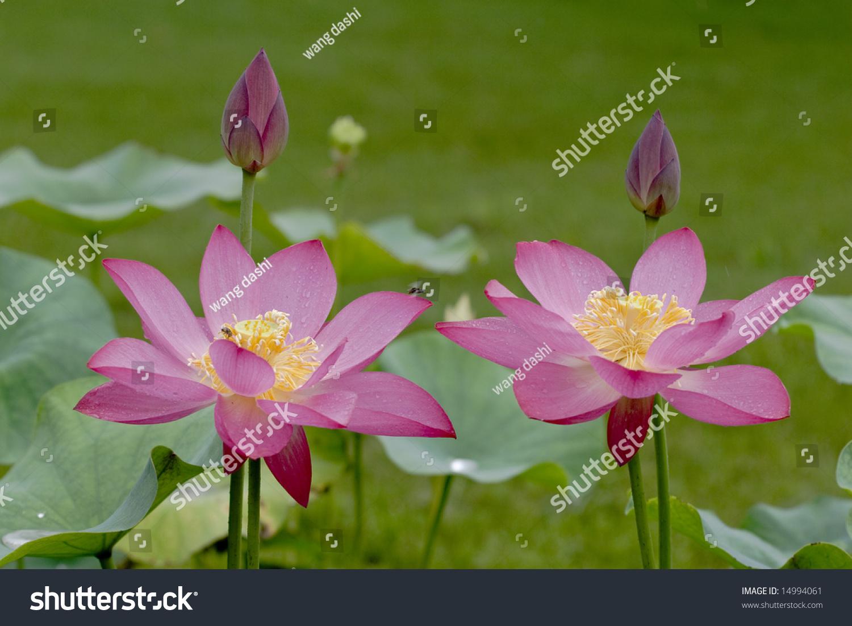 Twin Lotus Flower Lotus Flowers Morning Stock Photo Edit Now