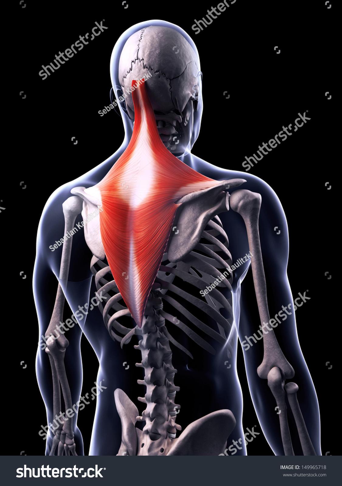 3 D Rendered Illustration Trapezius Muscle Stock Illustration