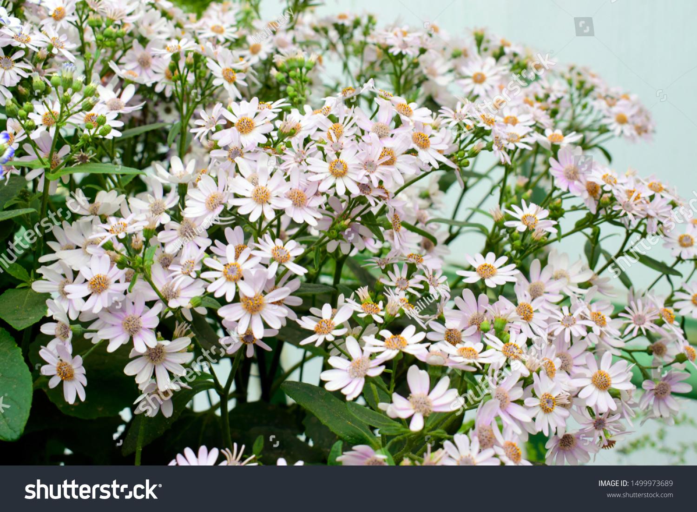 Beautiful Spring Cineraria Stellata Maritima Flowers Stock Photo