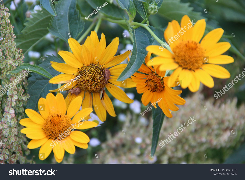 Yellow Echinacea Beautiful Flowers Beautiful Floral Stock Photo