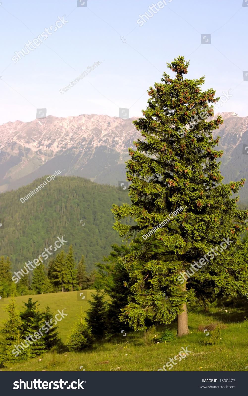 Must see Wallpaper Mountain Portrait - stock-photo-fir-on-mountain-portrait-wallpaper-1500477  Pic_254915.jpg