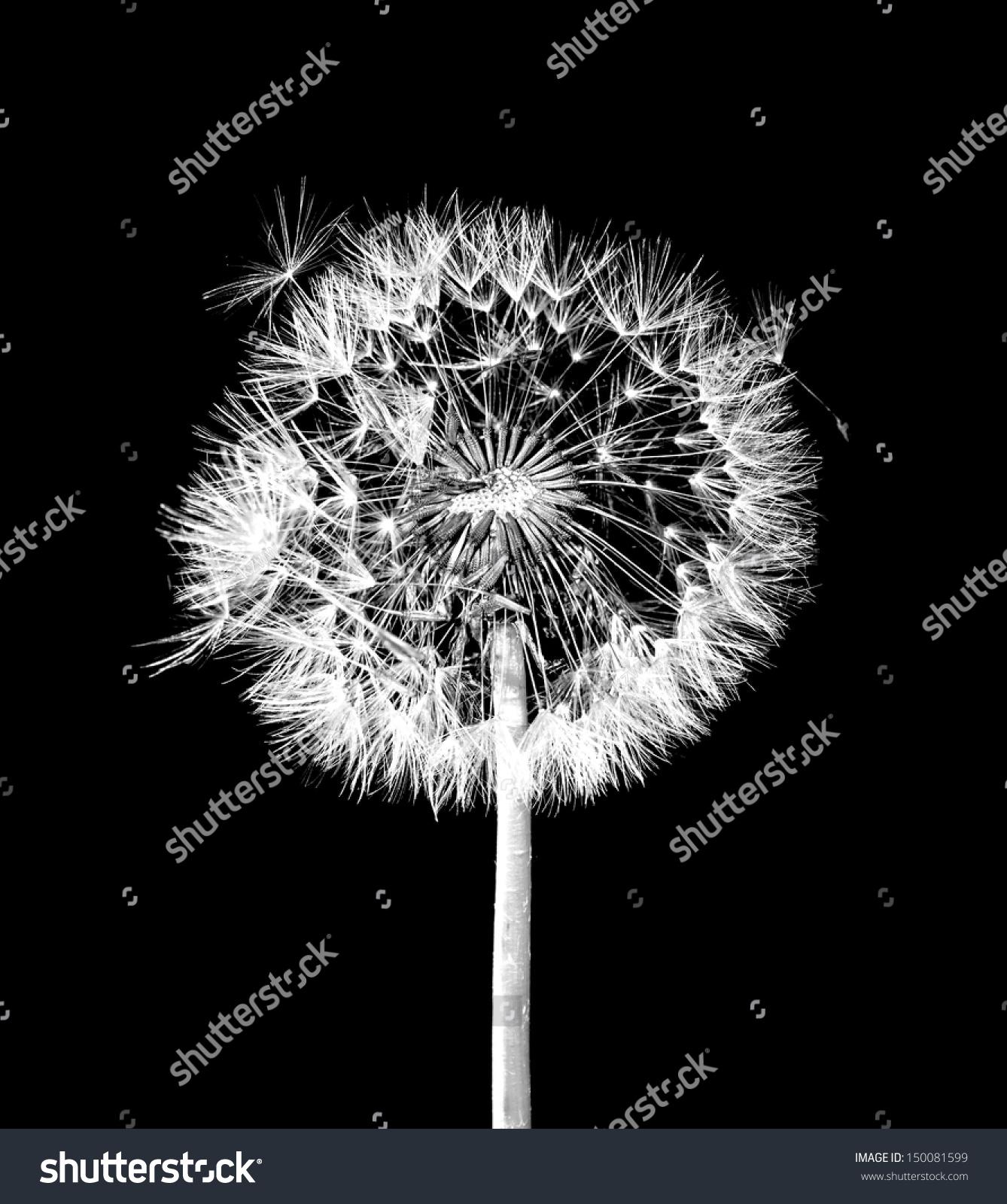 Dandelion flower on black background #150081599