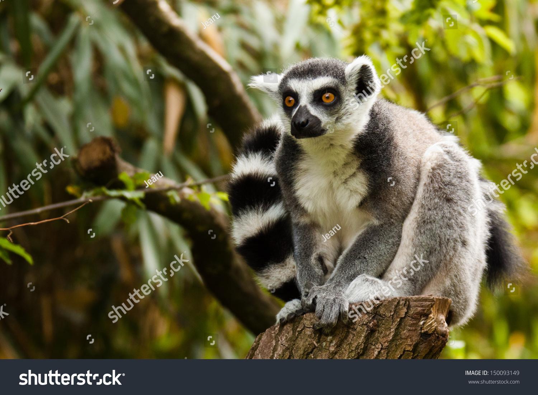 the lemur catta Lemur catta mate choice reproductive signalling ringtailed lemur scent marking  seasonality the study of mammalian olfactory communication focuses on.
