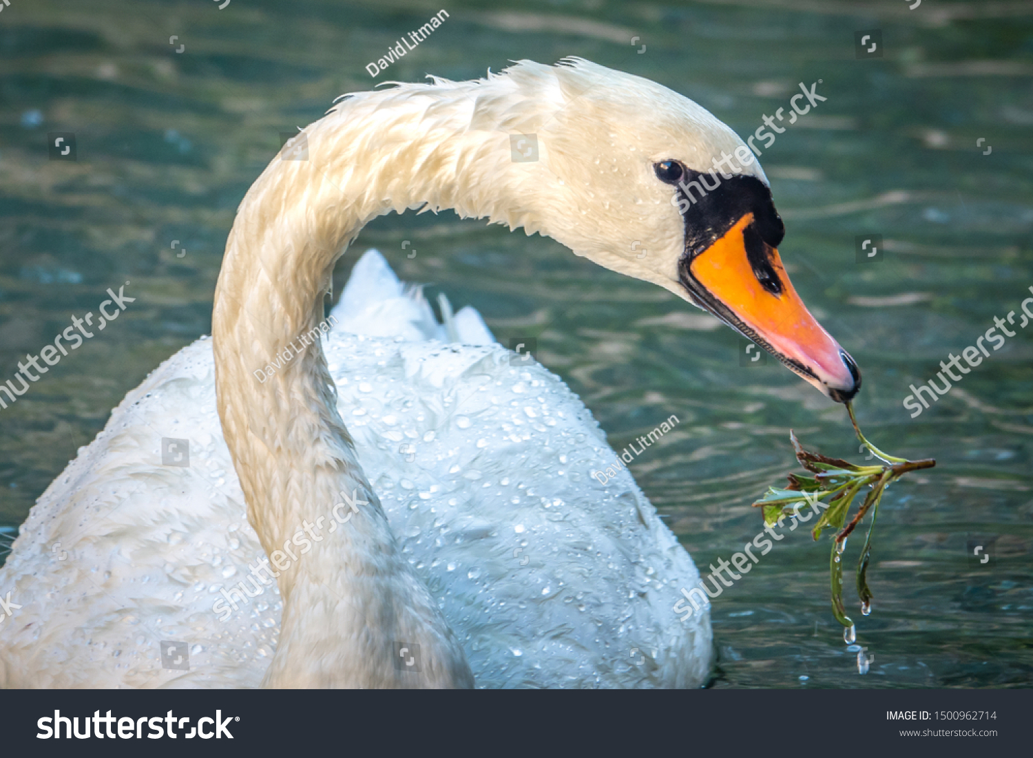 Close up portrait of a Swan as it eats a plant plucked from the bottom of a pond in Northern California.