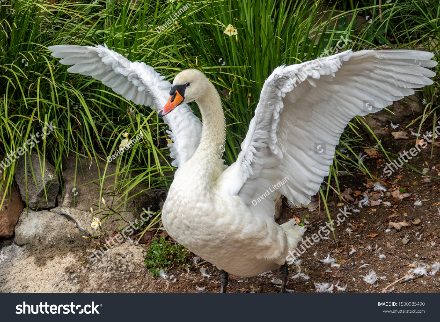 A Swan spreads its wings while stretching.