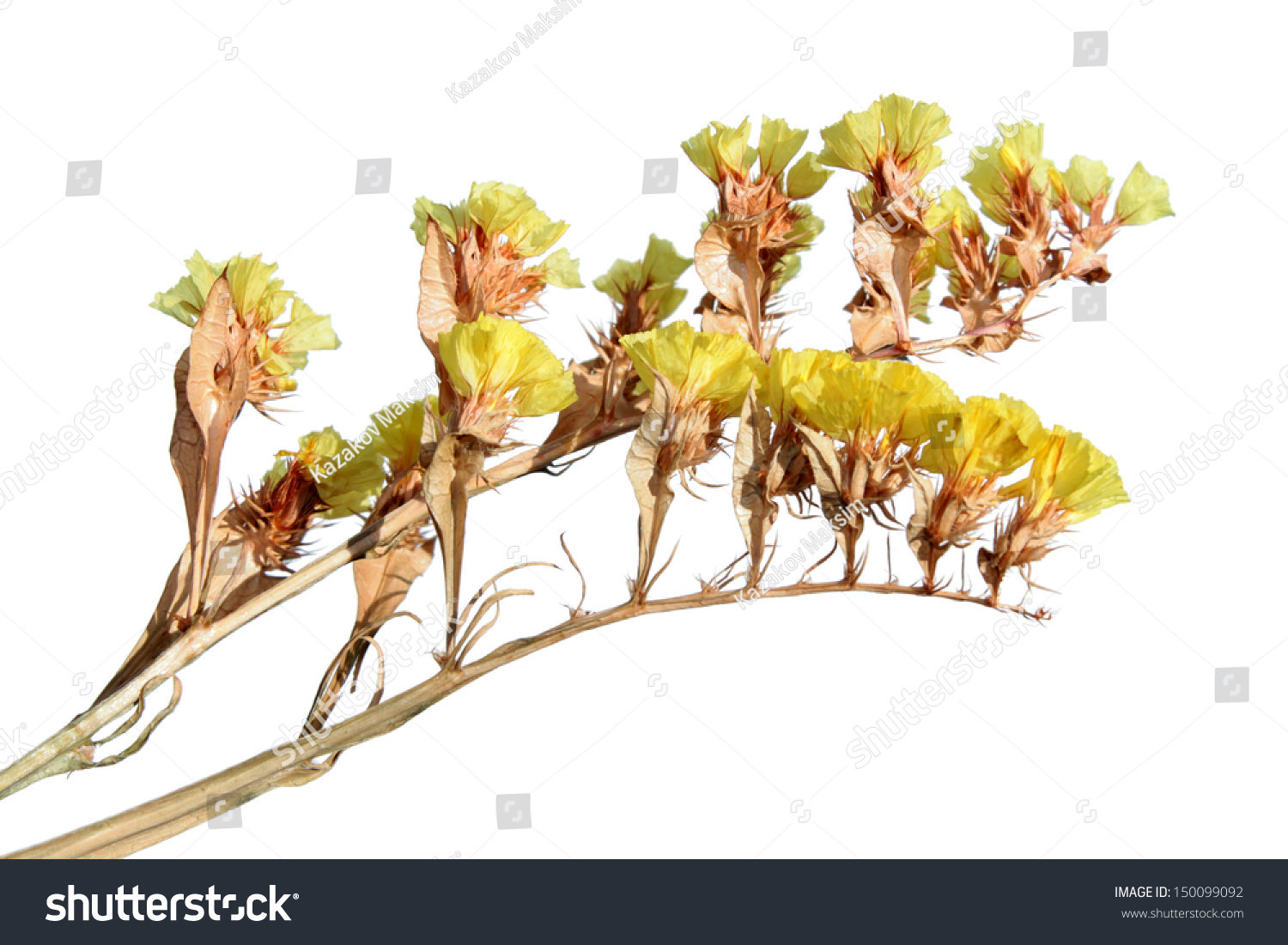 Yellow statice flowers isolated on white stock photo edit now welcome to shutterstock mightylinksfo