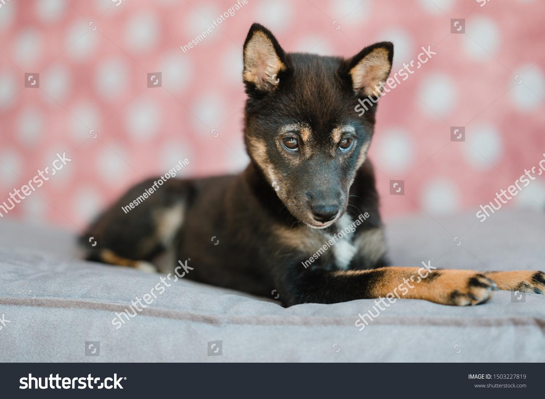 Dog Shiba Inu Puppy Photostudio Stock Photo Edit Now 1503227819