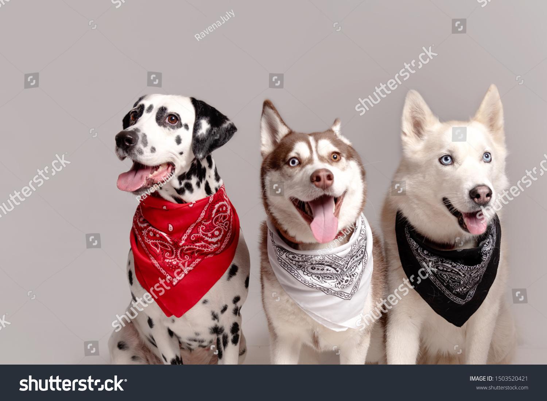 Three Dogs Dalmatian Siberian Husky Sitting Stock Photo Edit Now 1503520421