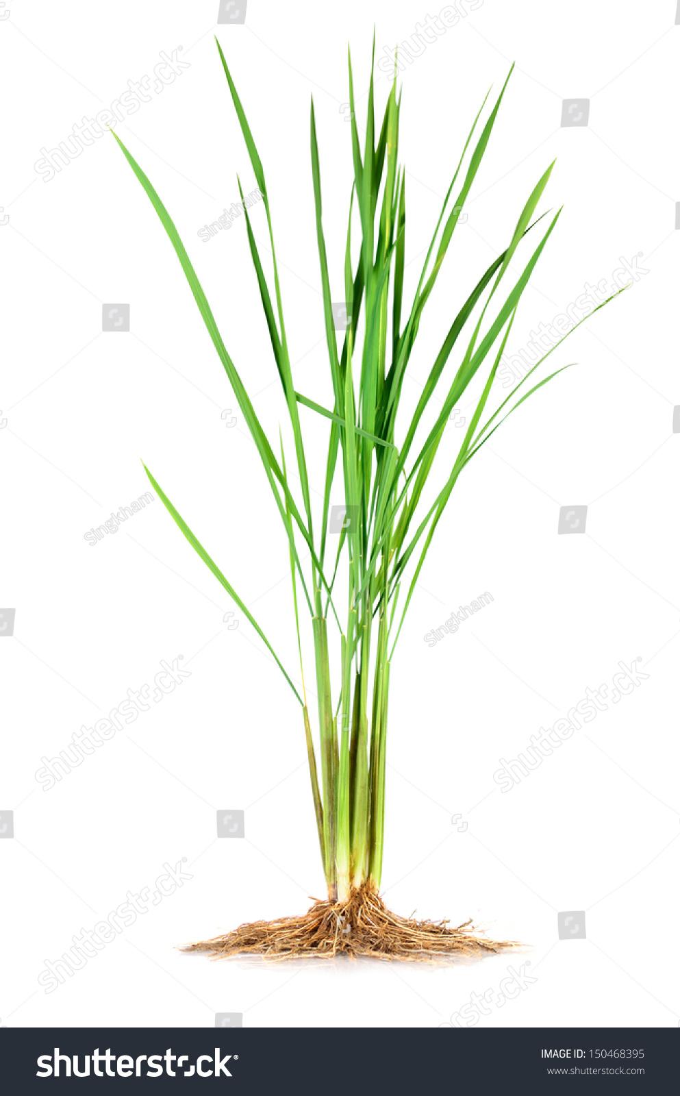 Anatomy Monocotyledon Jasmine Rice Plant Stock Photo (Edit Now ...