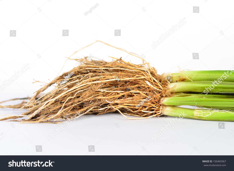 Root Anatomy Monocotyledon Jasmine Rice Plant Stock Photo Royalty